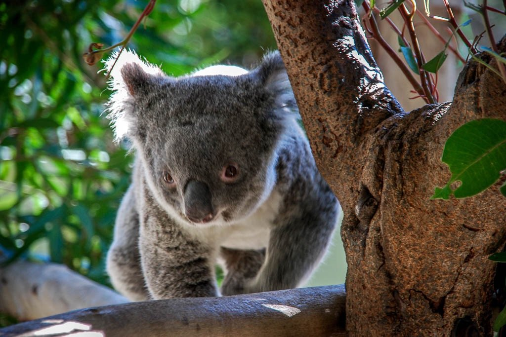 Walkabout Tour Koala